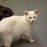 Domestic Shorthair Cat for adoption in McKenzie, Tennessee - Freeway