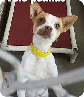 Chihuahua Mix Dog for adoption in Staunton, Virginia - Pixie