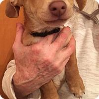 Adopt A Pet :: Cruise - Renton, WA