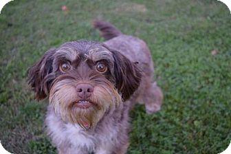 Standard Schnauzer/Poodle (Miniature) Mix Dog for adoption in Sacramento, California - Edna