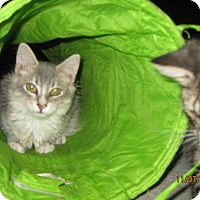 Manx Kitten for adoption in Glendale, Arizona - Aria