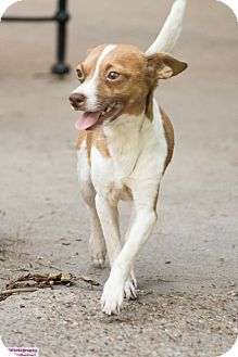 Chihuahua Mix Dog for adoption in Fort Atkinson, Wisconsin - Cole