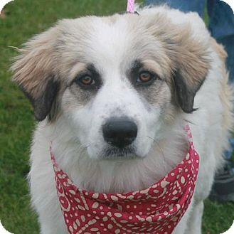 Great Pyrenees Dog for adoption in Garfield Heights, Ohio - Jill (and Jack)