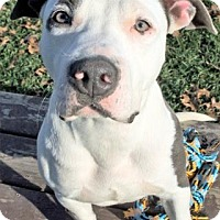 American Staffordshire Terrier Mix Puppy for adoption in Waupaca, Wisconsin - Baloo