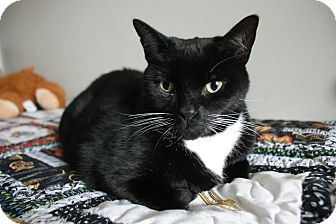 Domestic Shorthair Cat for adoption in Toronto, Ontario - Monty *Declawed*
