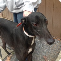 Greyhound Dog for adoption in Gerrardstown, West Virginia - Patrick Chung