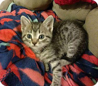 American Shorthair Kitten for adoption in Texarkana, Arkansas - Tommy
