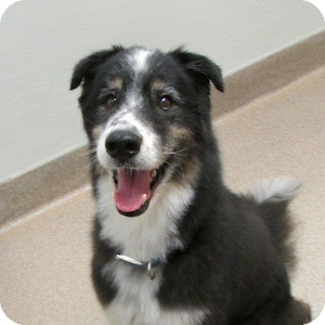 Australian Shepherd Mix Dog for adoption in Gilbert, Arizona - Goober