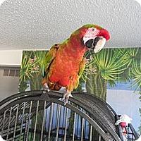 Adopt A Pet :: Rusty - St. Louis, MO