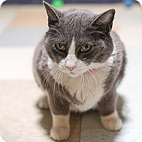 Domestic Shorthair Cat for adoption in Dallas, Texas - EVE
