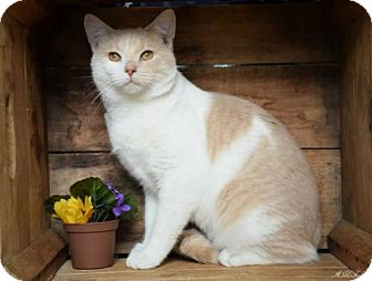 Domestic Shorthair Cat for adoption in Germantown, Maryland - Kip