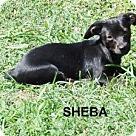 Adopt A Pet :: Sheba B
