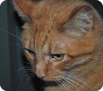 Domestic Shorthair Cat for adoption in Centralia, Illinois - Morris