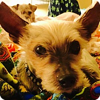 Adopt A Pet :: Rudy formerly Rain - Las Vegas, NV