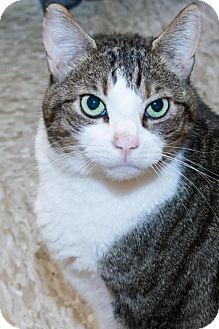 Domestic Shorthair Cat for adoption in Herndon, Virginia - Cassandra