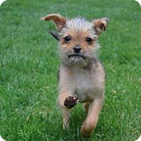 Adopt A Pet :: Yp litter - Monty - Livonia, MI
