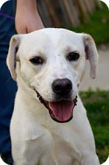 Labrador Retriever Mix Dog for adoption in Fort Smith, Arkansas - Apollo