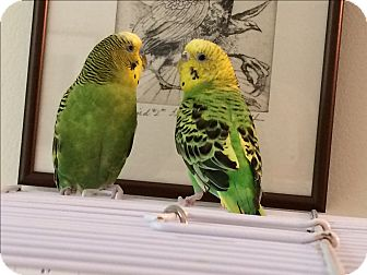 Budgie for adoption in St. Louis, Missouri - Flora & Fauna