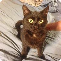 American Shorthair Kitten for adoption in Hopkinsville, Kentucky - Bitty