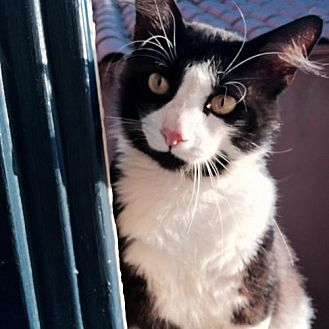 Domestic Shorthair Cat for adoption in Long Beach, California - Domino