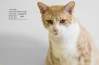 Domestic Shorthair Cat for adoption in Houston, Texas - ERNIE
