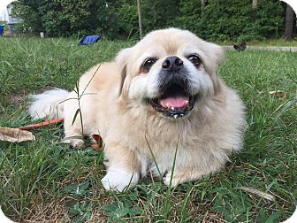 Pekingese Dog for adoption in Portland, Maine - Mikey