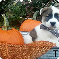 Adopt A Pet :: Tim - Gainesville, FL