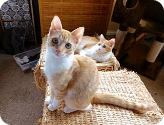 Domestic Shorthair Cat for adoption in Los Angeles, California - Ziggy (Orange and White)