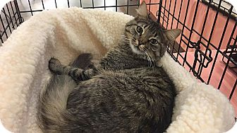 Domestic Mediumhair Cat for adoption in Seattle, Washington - Cleocatra