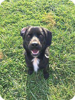 Labrador Retriever Mix Dog for adoption in Xenia, Ohio - Opie