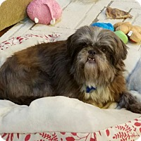Brussels Griffon/Lhasa Apso Mix Dog for adoption in Charlotte, North Carolina - Jessie-special girl