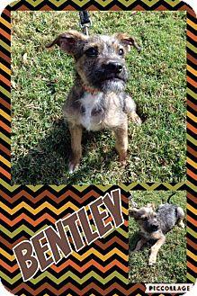 Schnauzer (Miniature) Mix Dog for adoption in Lexington, North Carolina - Bentley