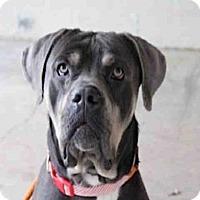 Adopt A Pet :: SIMBA - Scotia, NY