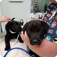 Adopt A Pet :: Cain - Sanford, FL