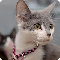 Domestic Shorthair Cat for adoption in Queens, New York - Gracie