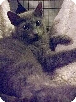 Domestic Shorthair Cat for adoption in Queens, New York - Earl Grey