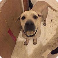 Adopt A Pet :: Hope - Haltom City, TX