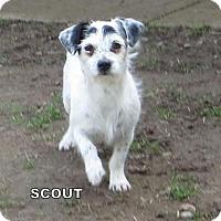 Adopt A Pet :: Scout - Lindsay, CA