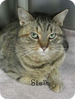 Domestic Shorthair Cat for adoption in Jackson, New Jersey - Stella