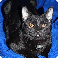 Domestic Shorthair Cat for adoption in Laingsburg, Michigan - Elf