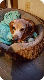 Dachshund Dog for adoption in Aurora, Colorado - Izzy