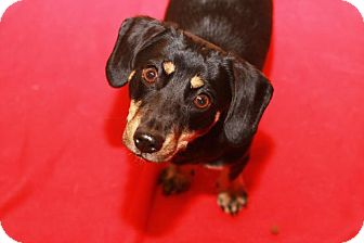 Dachshund Dog for adoption in Rossville, Tennessee - Graycie