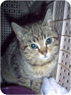 Domestic Shorthair Kitten for adoption in Nashville, Tennessee - Violet