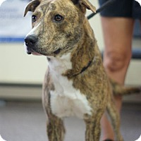 Plott Hound Mix Dog for adoption in Manteo, North Carolina - Clark