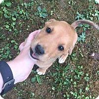 Adopt A Pet :: Adom - Hanover, PA