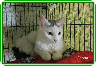 Domestic Mediumhair Kitten for adoption in New Richmond,, Wisconsin - Capone