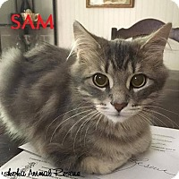 Adopt A Pet :: Sam - Loves to Snuggle! - Huntsville, ON