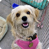 Adopt A Pet :: Honey - Studio City, CA