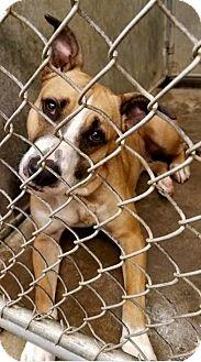 Boxer Mix Dog for adoption in Zanesville, Ohio - Ginger - Urgent!