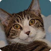 Domestic Shorthair Cat for adoption in Cincinnati, Ohio - Nashi